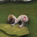 猿が温泉に浸かる「地獄谷野猿公苑」。行く前に知ってほしいこと。